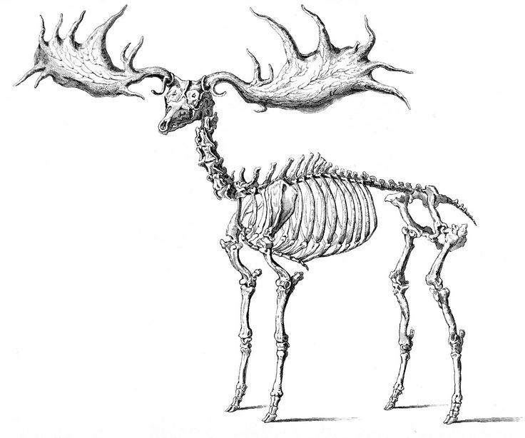 Elk Skeleton Diagram