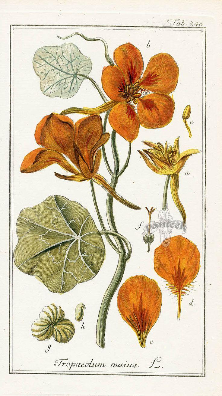 Tropaeloum maius Nasturtium. Tropaeolum majus (garden nasturtium, Indian cress or monks cress) is a flowering plant in the family Tropaeolaceae, originating in the Andes from Bolivia north to Colombia.