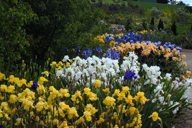 Growing Irises All Season Long | Garden Design for Living