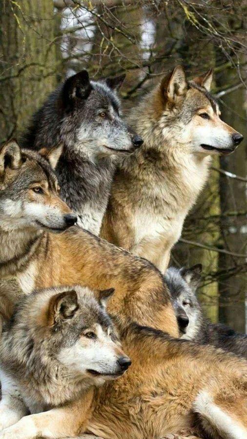 Bellisimos lobos grises