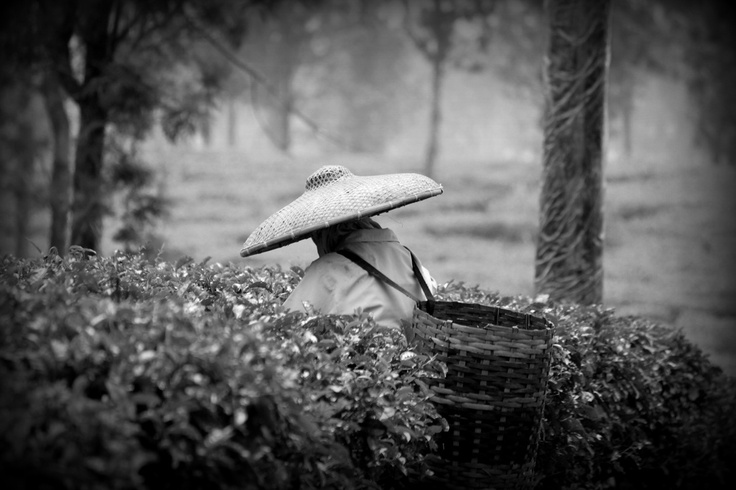 Tea fields in Puncak, Indonesia #photography #teafields #Indonesia  - Photos by Evie