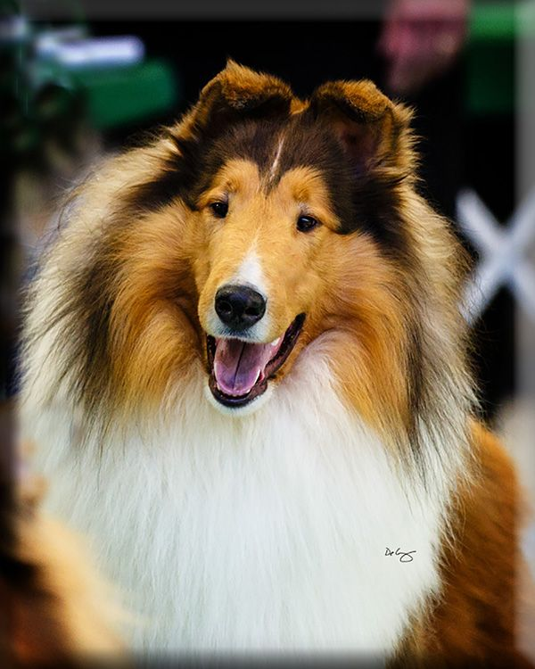 Highcroft Collies Collies Hamel Mn Collie Dog Collie Dogs