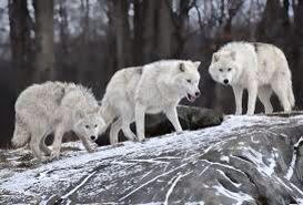 Wilk biały