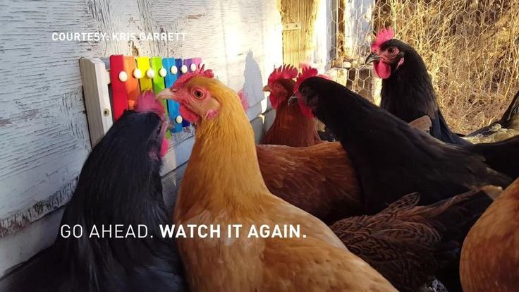 A Colorado woman installed a xylophone in her backyard and now her chickens spend their days playing music.Thanks to our news partners 9NEWS (KUSA) for sharing!
