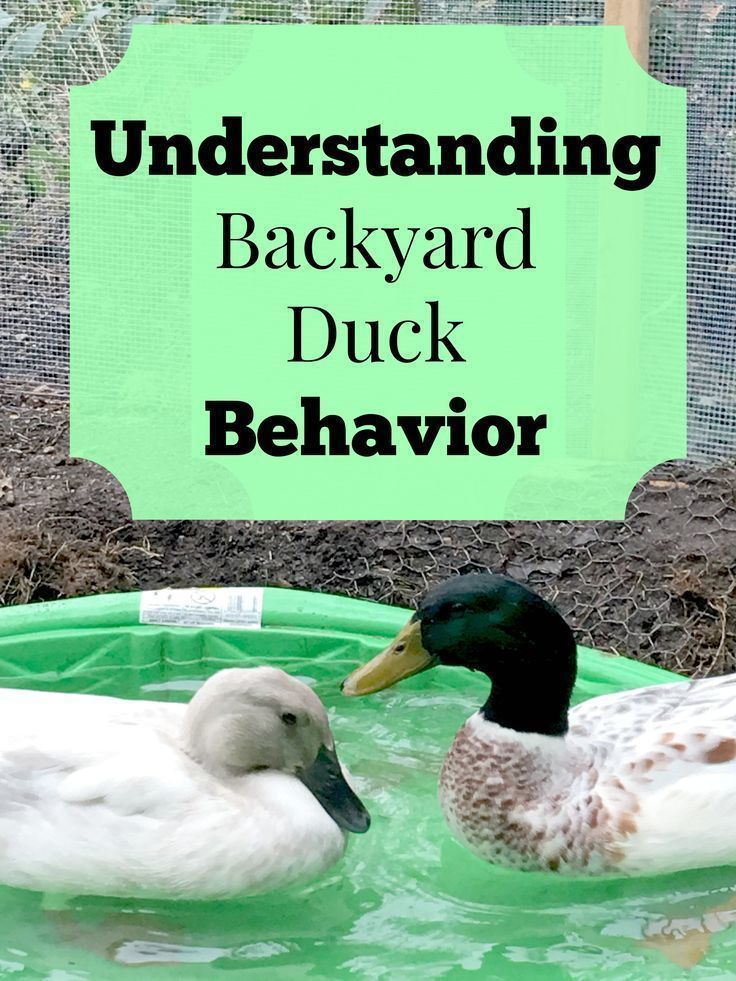 Best 25 Ducks Ideas On Pinterest Baby Ducks Duck In Water And Where Do Ducks Live