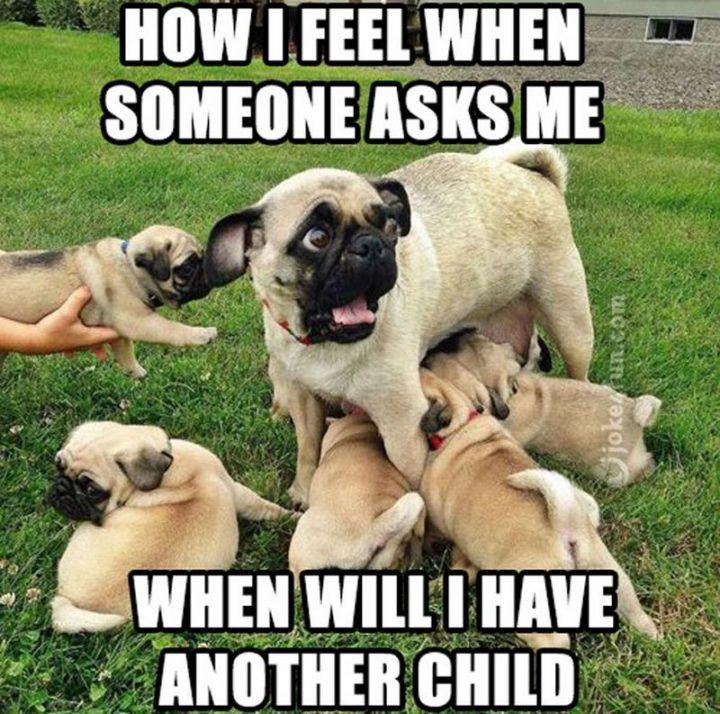 101 Lovable Pug Memes That Are Too Puggin Cute Pugs Cute Pugs