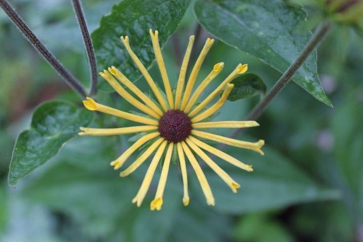 """Shining like a star, rudbeckia flower. Henry Eilers.  """"Den lyser som en stjärna, Rudbeckia Henry Eilers. #trädgård #garden #flowers #rudbeckia #henryeilers #blomma #yellow"""