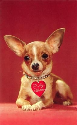 282 Best I Heart Wah Wahs Images On Pinterest Doggies Chihuahua