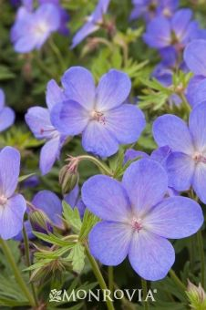 Johnson's Blue Geranium (Cranesbill).  Perennial.  Not your common annual geranium, this delicate perennial will bloom year after year with regular attention.