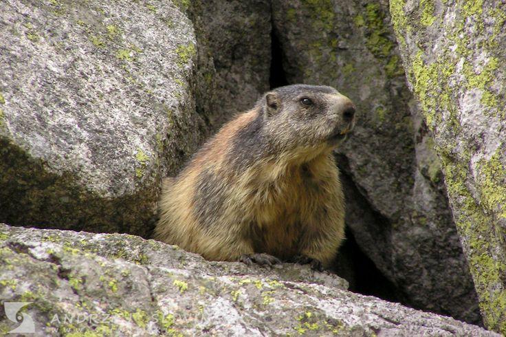 Marmot. The Tatra Mountains, Poland.  #wildlifephotography