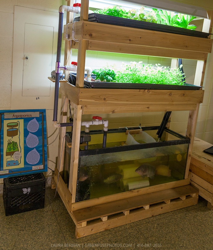 56 best mini aquaponics images on pinterest aquaponics for Aquaponics fish tank