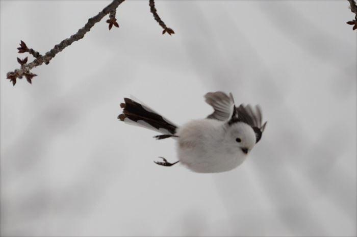 世界一可愛い鳥の種類ベスト50選 一覧 画像 ページ 2 Ailovei シマエナガ 可愛い鳥 ペットの鳥