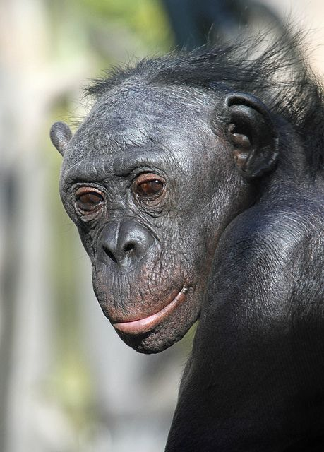 Bonobos were described as a subspecies of chimpanzee in 1929 but identified as a separate species in 1933. They are still the least understood of the great apes.