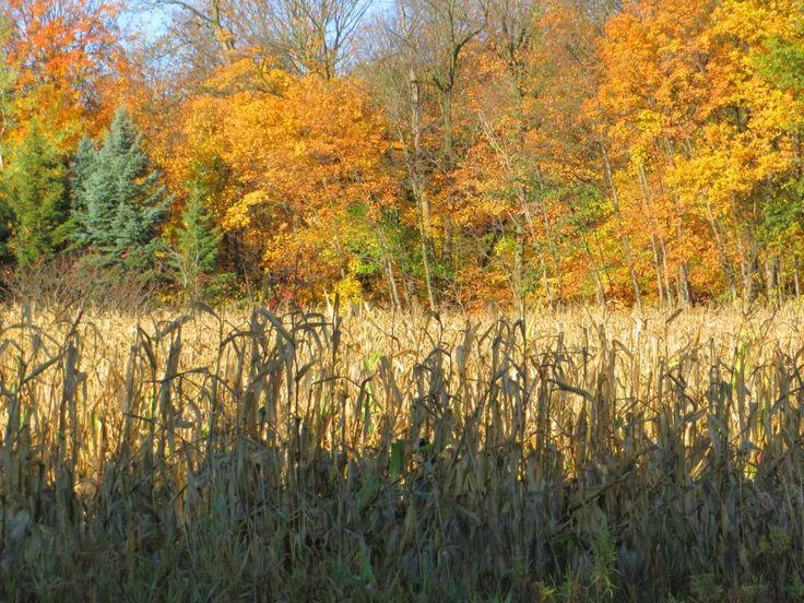 Fall cornfield, trees, Pine County, MN