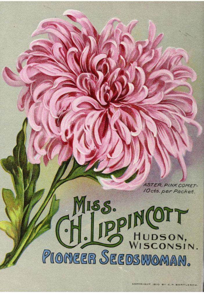 garden seed catalogs. Aster, Pink Comet. Miss C.H. Lippincott Pioneer Seedswoman (1911) | By Swallowtail · Seed CatalogsFlower Garden Catalogs K