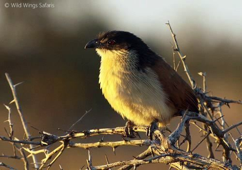 A Burchell's coucal highlighted in the rays of first light ...