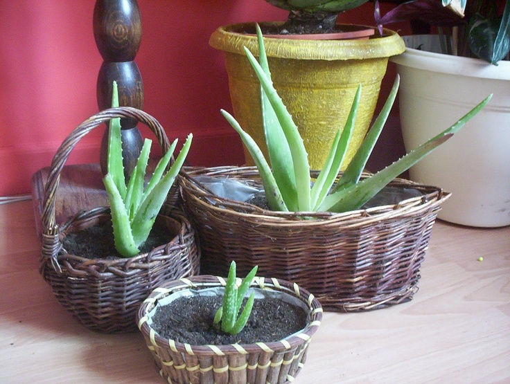 culture aloes vera gardens and flowers oh my aloe. Black Bedroom Furniture Sets. Home Design Ideas