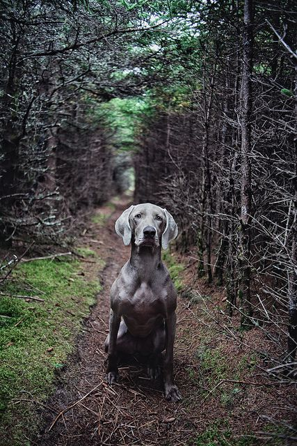 weimaraner...i'll have one someday!