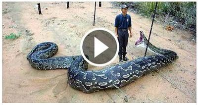 Netlore Archive: Circulating via social media, viral posts promote a video supposedly showing a giant anaconda swallowing a zookeeper in South Africa.