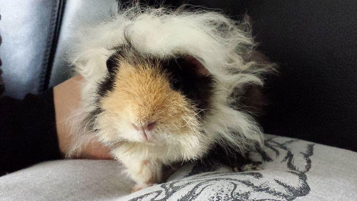 23 Best Guinea Pig Images On Pinterest Guinea Pigs Cavy