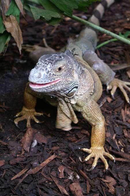 Iguane Vert - Reptiles - Frawsy