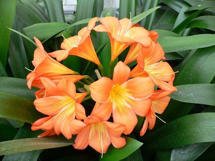 Flores naranjas: Jazmines naranjas