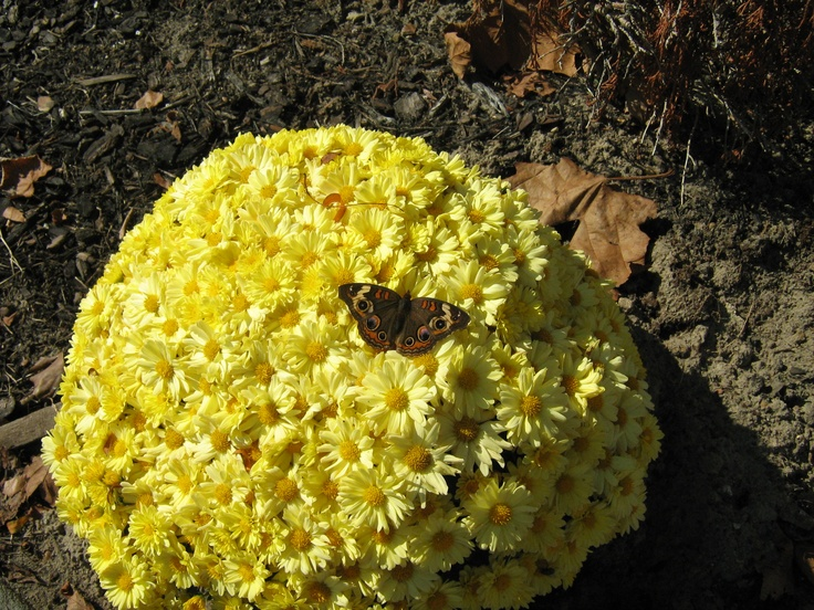 Mums with butterfly