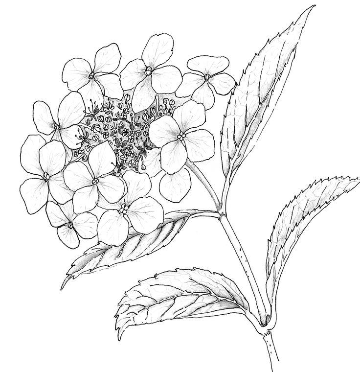 Hydrangea Drawing Liz-reed.co.uk : <b>hydrangea</b> 3 copy