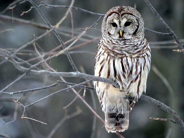 I'm an octopus, married to an owl.Bar Owls, Winter, Barred Owl, Beautiful, Snowy Owls, White Owls, Snow Owls, Birds, Animal