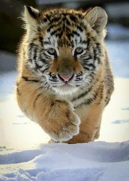 Tiger cub cuteness