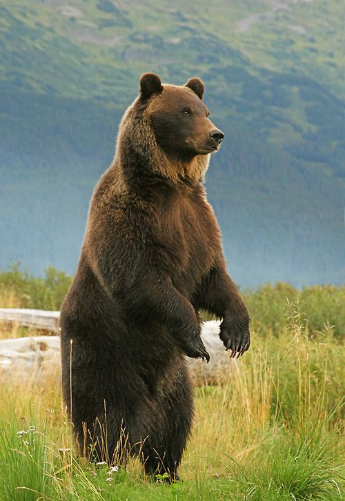 Grizzly Standing As Another Bear approached (by AlaskaFreezeFrame