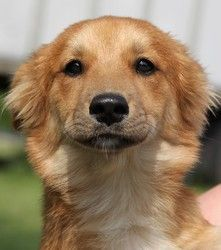 Ajax is an adoptable Golden Retriever Dog in Paris, KY. Meet Ajax! He is 4 months old (as of 6/20) and is a Corgi/Golden Retriever mix. He is super cute and has a soft golden coat. He will be medium s...