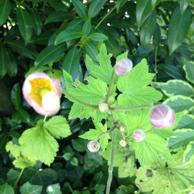 #mindfulness#achtsamkeit#summer#sommer#gardening#garten#natur#nature#naturelovers#landliebe#landlust#bauerngarten#gartenglück#gartenliebe#wachstum##growth#flowers#blumen#floral#structure#life#leben#flowerbud#anemone#herbstanemone#blossom#blütenknospen#chineseanemone