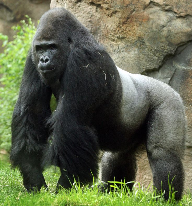 He's pretty intimmidating .......gorilla - Google Search