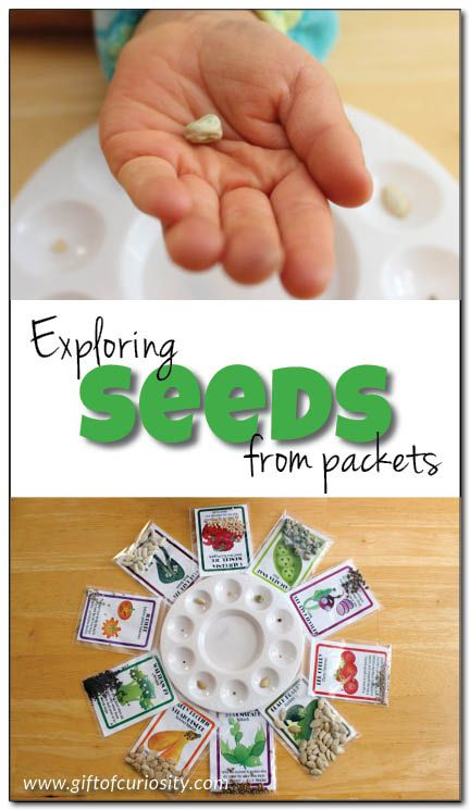 Exploring seeds from packets: A simple observation activity for preschoolers to learn about seeds || Gift of Curiosity