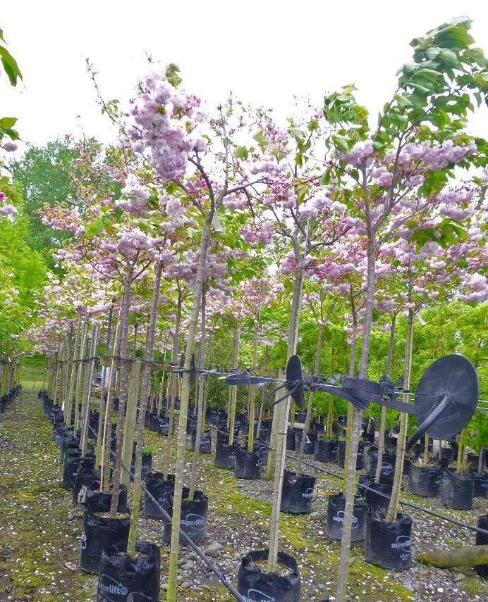 Prunus Shimidsu Sakura Moonlight Cherry Specimen Trees Tree Nursery Tree