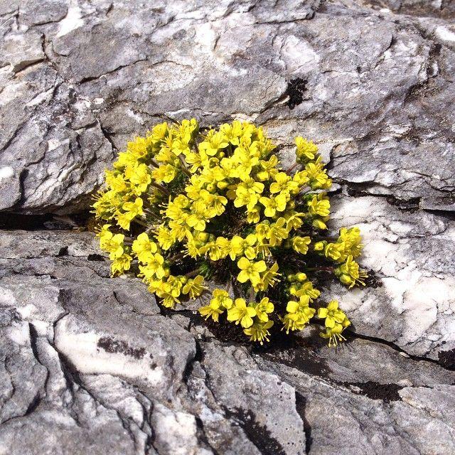 Tra le creste delle cime più alte la Draba di Bertoloni. I fiori delle Alpi Apuane