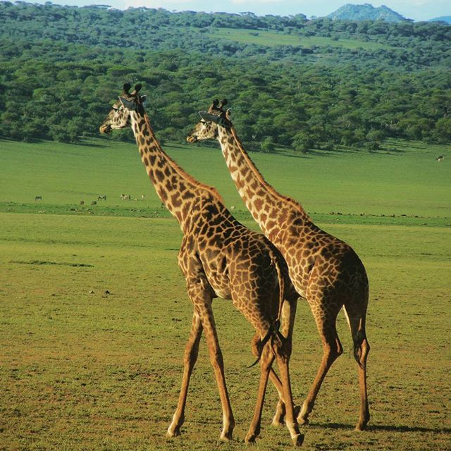 Check out this pair of twin giraffes strolling happily through Serengeti National Park.  This was after half an hour of standing in the middle of the road so we couldn't pass in our 4×4... not that I was complaining 😊  #giraffe #giraffes #twingiraffes #travels #serengeti #nationalpark #eastafrica #tanzania #tanzaniasafari #animalphotos #animalsoninstagram #wildanimal #wildanimals #wildlife #wildlifeinafrica