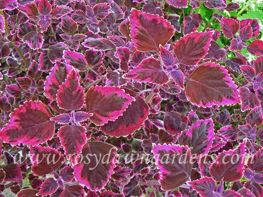 """Coleus 'Trailing Plum Brocade' (medium 12""""-18""""; trailing)  Unique purple trailer with a luminescent band of plum color at the leaf edge.  Extremely popular choice for pots and hanging baskets. Also known as 'Swinging Linda', 'Meandering Linda' or 'Trailing Plum'."""