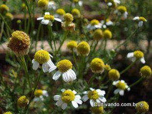 Camomila | Plantas Medicinais - Cultivando.com.br