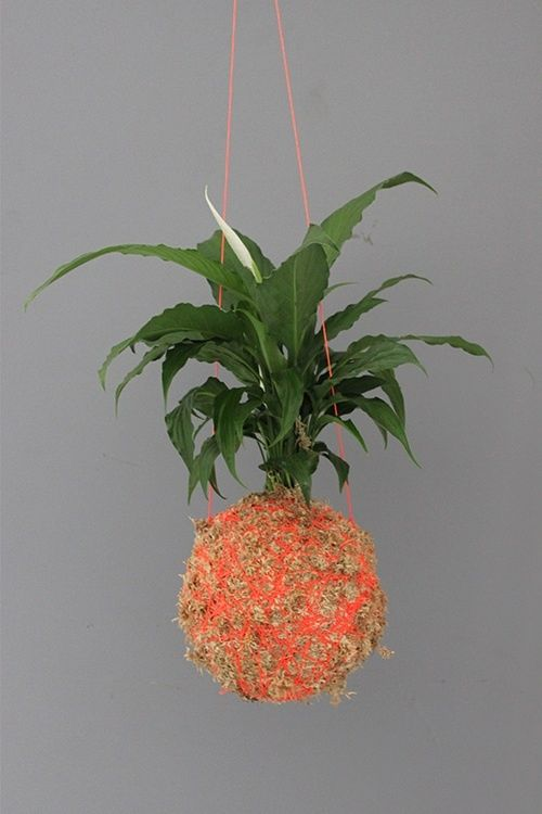 Mister-Moss piece lily moss ballThe piece lily is best suited indoors as it prefers indirect sunlightPerfect for the bedroom or bathroomPLEASE NOTE WE ONLY SHIP WITHIN AUSTRALIA