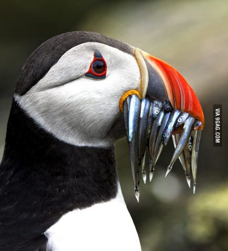 Closeup of a puffin with a mouthful of sand eels