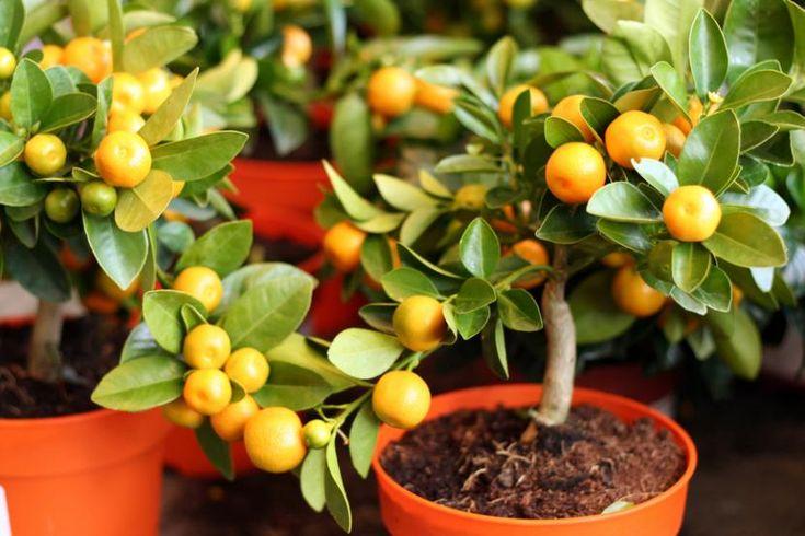Frutales enanos: ¿cómo se cuidan? - http://www.jardineriaon.com/frutales-enanos-como-se-cuidan.html #plantas
