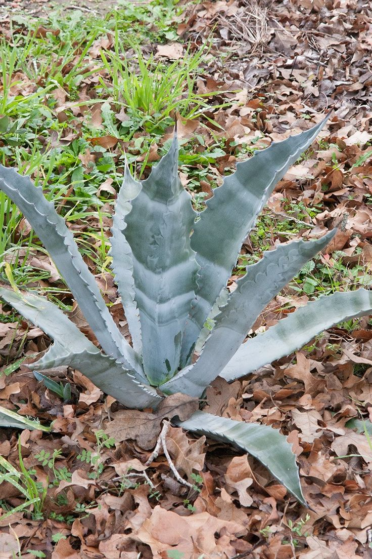 how to cut back a yucca plant
