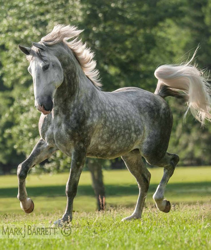 "Dapple gray Lusitano horse. I remember the song by Peter, Paul,  Mary, ""All the Pretty Little Horses."" One of the lines is about ""dapples, and greys, pintos and bays..."" Maybe they were singing about a Lusitano?"