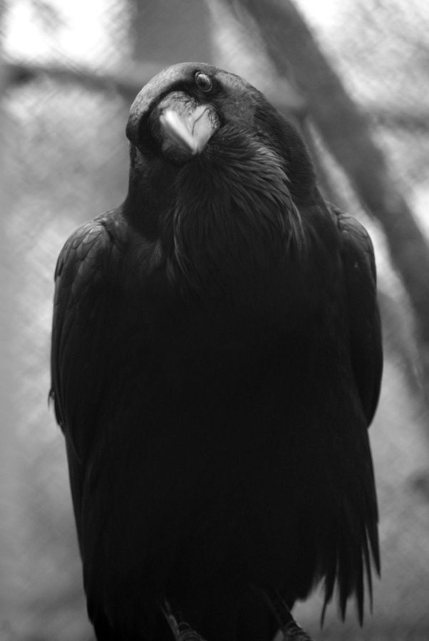"""""""According to some Native American myth. the raven was once a white bird with a beautiful singing voice. till it made such a selfless sacrifice for the benefit of mankind. It brought to man a flaming stick. In turn, the soot blackened its feathers. blistered its feet. and in breathing the smoke, ruined its voice forever. Here's to the raven and its sacrifice..."""""""