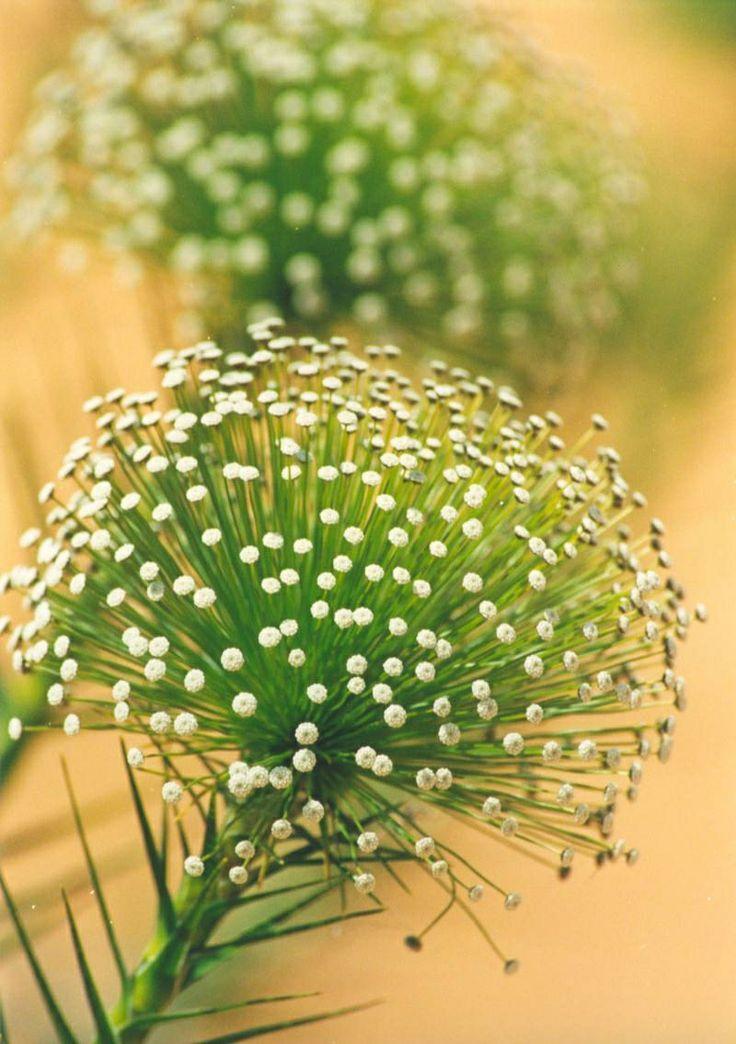 Flor do Capim dourado..Tonantins Brasil