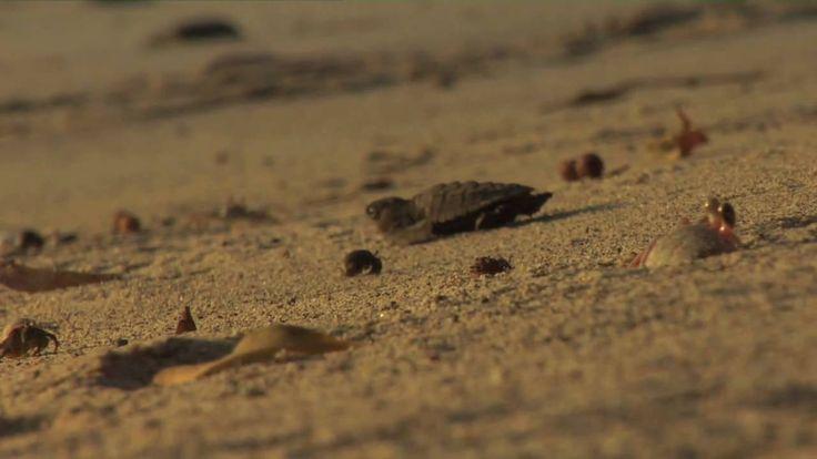 Baby Sea Turtles Hatching, via YouTube. 3:29