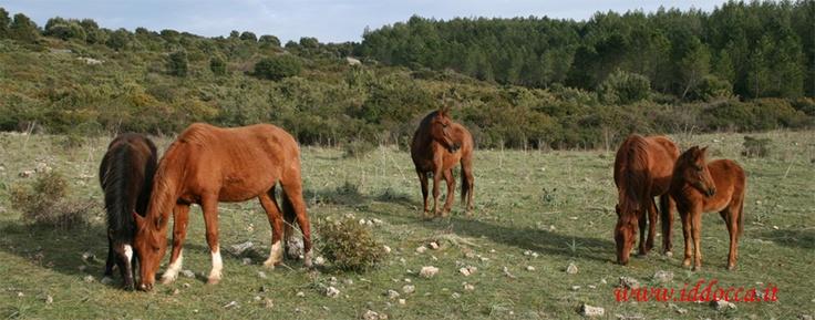 Oltre al tartufo, possiamo ammirare anche esemplari dei cavalli del Sarcidano!  Sarcidano's horses, Laconi - Sardinia