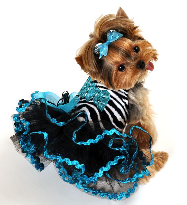 Image result for yorkie dog, wearing clothes cute